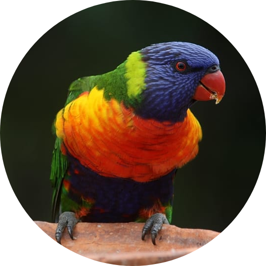 lorikeets and lories